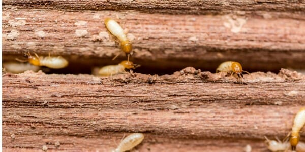 Termites Damage wood
