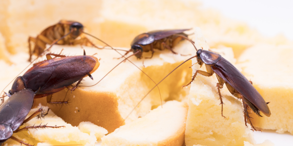 cockroaches on cheese