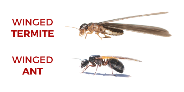 Winged Termite vs Winged Ant