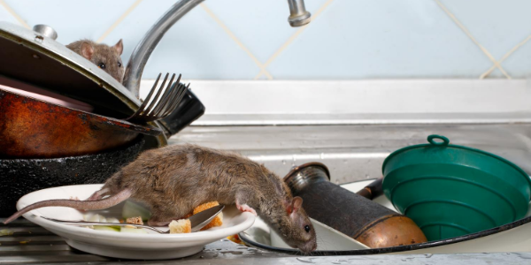 Rats on Dishes in Sink