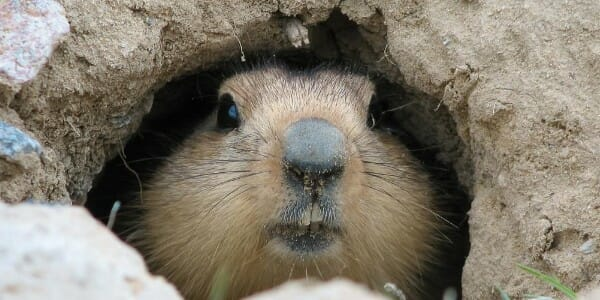 Groundhog popping out of a hole