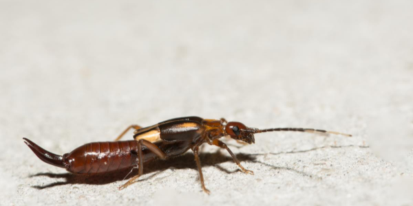 Earwig on the ground