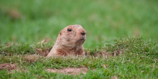 Groundhog poking its head out of the green grass