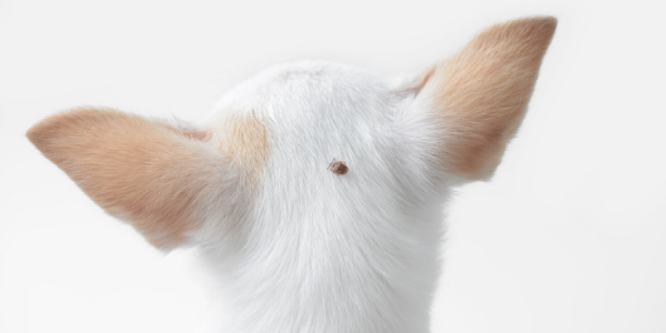 White dog facing away with a tick on the back of its head