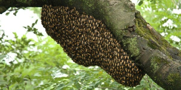 Large bee hive in a tree