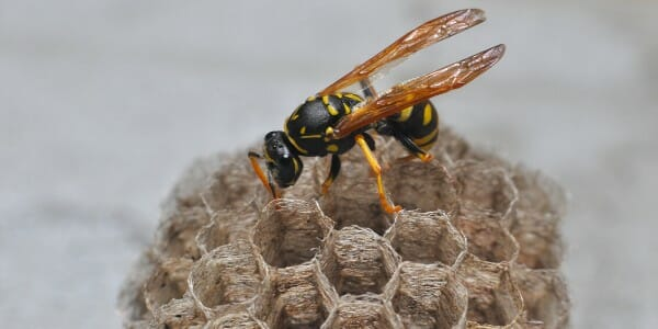 Wasp on nest up close