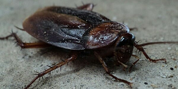Large cockroach on pavement