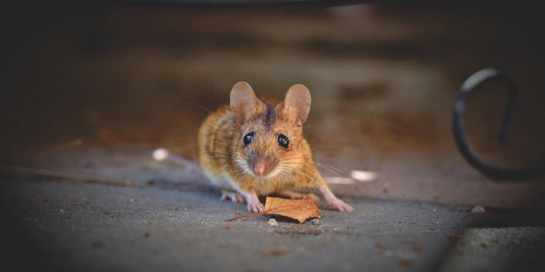 House mouse on sidewalk