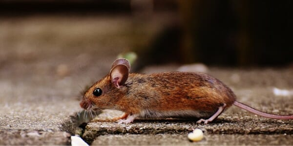 Brown mouse scurrying