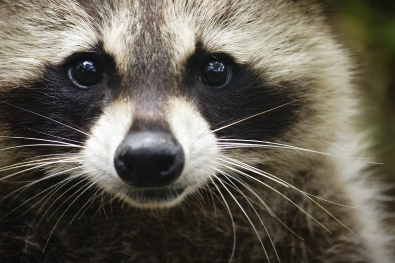 Suburban Exterminating S Guide To Raccoons