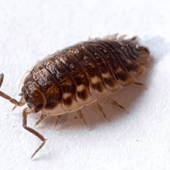 Pill Bugs/Sowbugs