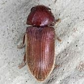Anobiid Powderpost Beetles
