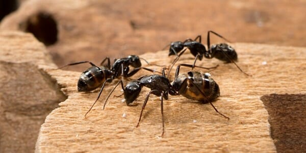 Three carpenter ants crawl on a brown surface