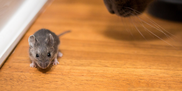 cat looks at mouse in house
