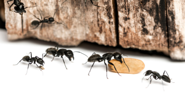 ants in your home