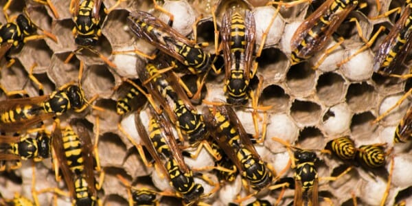 Wasp nest with yellow jackets