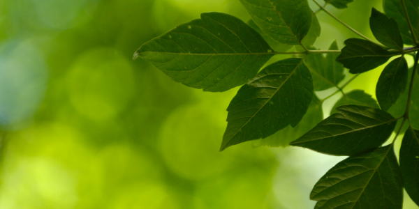 Green leaves of a tree with green soft focused background