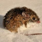Deer Mice/White Footed Mice