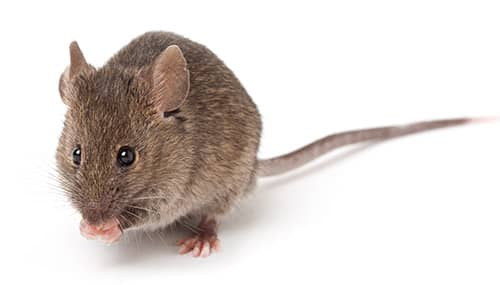 House Mouse on white