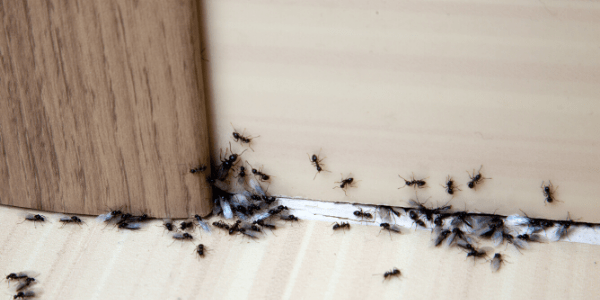 Trailing ant infestation inside a house