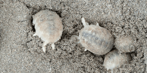 Four sand lice in wet sand