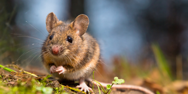deer white footed mouse