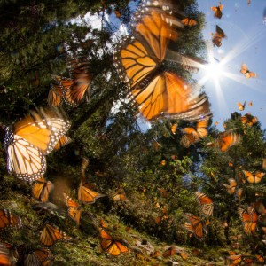 Flying monarch butterflies