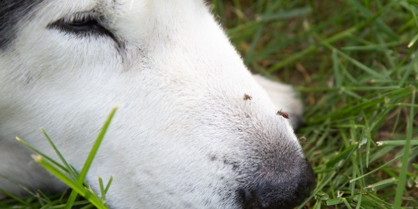 small insects that bite dogs